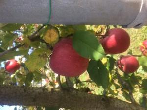 彩リンゴ狩り2